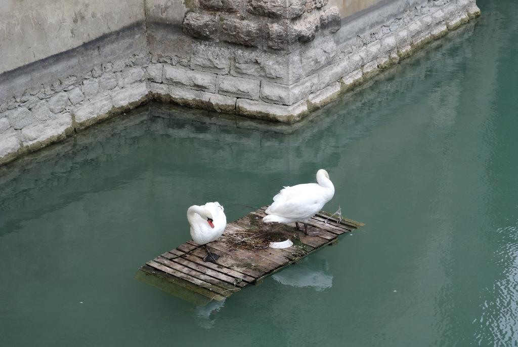 Rafting swans