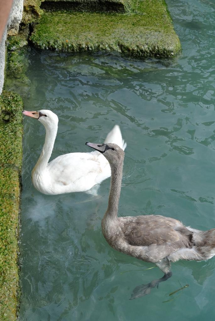 Sirmione_swans